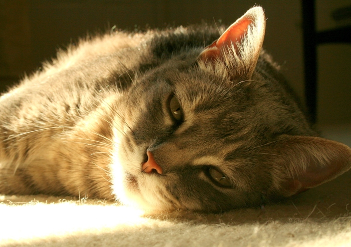 closeup of grey tabby cat velveeta laying on the carpeted floor