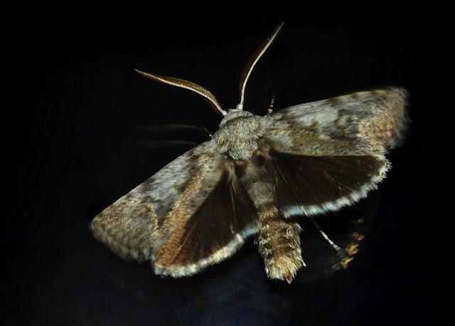 Xyloryctidae : Cryptophasa irrorata LEWIN, 1805. Umina Beach (N. S. W., Australie), 25 décembre 2011. Photo : Barbara Kedzierski