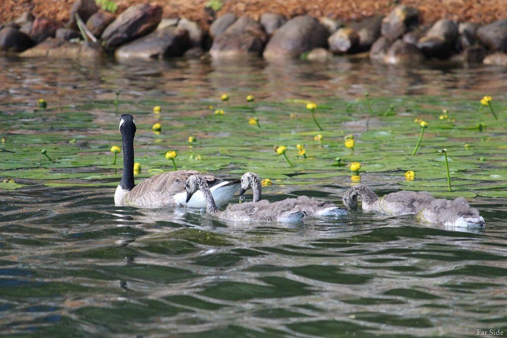 [Canda+Geese+babies+fuzzy%5B8%5D]