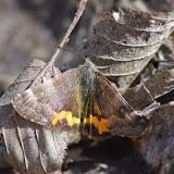 Geometridae : Archiearinae : Boudinotiana notha (Hübner, 1803). Les Hautes-Lisières (Rouvres, 28), 13 avril 2015. Photo : J.-M. Gayman