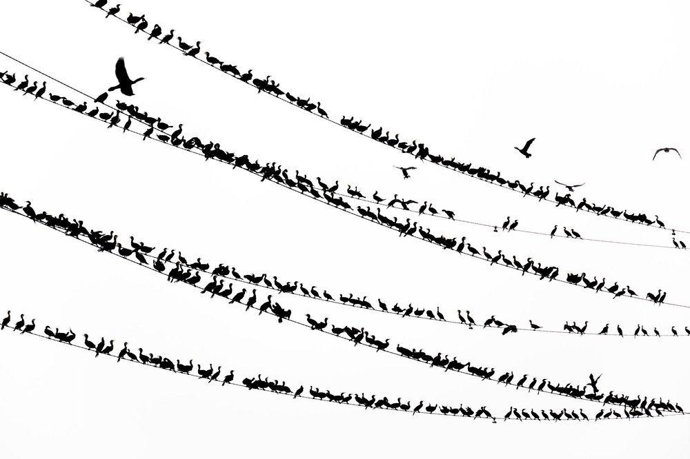 yoshinori-mizutani-tokyo-cormorant-5