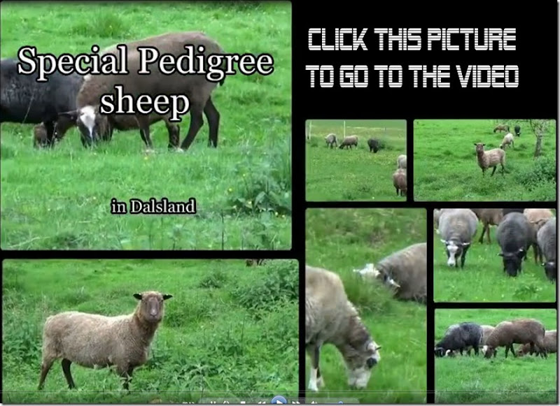 Dalsland sheep header-003
