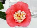 桃色 唐子咲き 唐子弁は桃色地に幅広の白覆輪 中輪