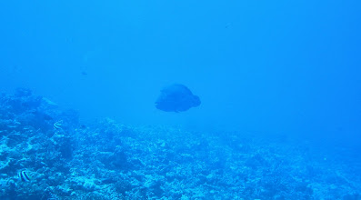 Photo: Napoleon Fish...