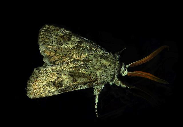 Xyloryctidae : Cryptophasa irrorata LEWIN, 1805. Umina Beach (N. S. W., Australie), 21 novembre 2011. Photo : Barbara Kedzierski