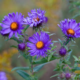 New-England-Asters_MG_0556-copy.jpg