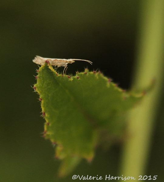 7-Diamond-back-moth