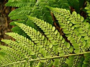 Nerecznica samcza liść z zawijkami