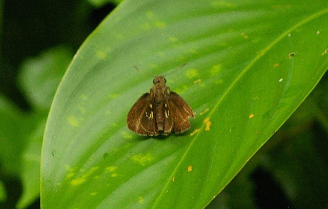 Pelopidas conjunctus HERRICH-SCHAFFER, 1869. Sukau, 13 août 2011. Photo : J.-M. Gayman