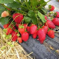 Диамант (Diamante Strawberry) саженцы клубники фриго Диамант купить