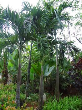 Jual Palem Putri | Jenis Pohon Palem Cocok Pada Taman Rumah
