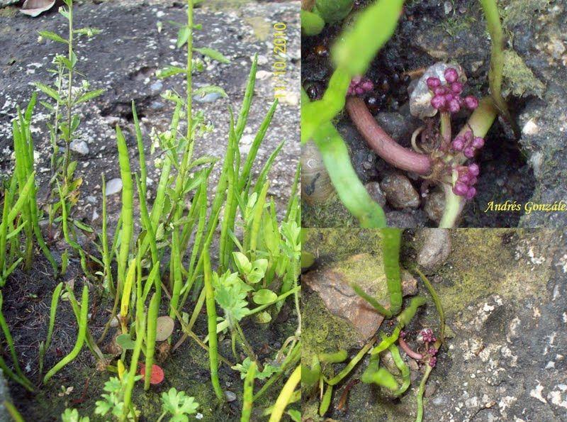 Лилеопсис оттянутый (Lilaeopsis attenuata)