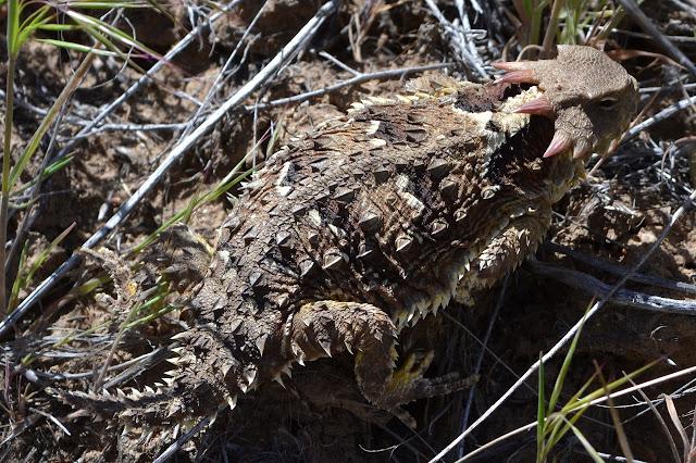 horny toad type lizard