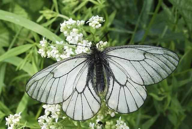 Parnassius (Driopa) stubbendorfii MÉNÉTRIÈS, 1849, mâle (ou P. st. typicus BRYK, 1914). Novosibirsk, Russie, 26 juin 2006. Photo : Andylog