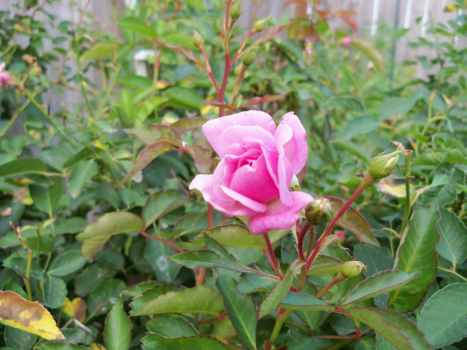 Gardening 2011 - 100_8849.JPG