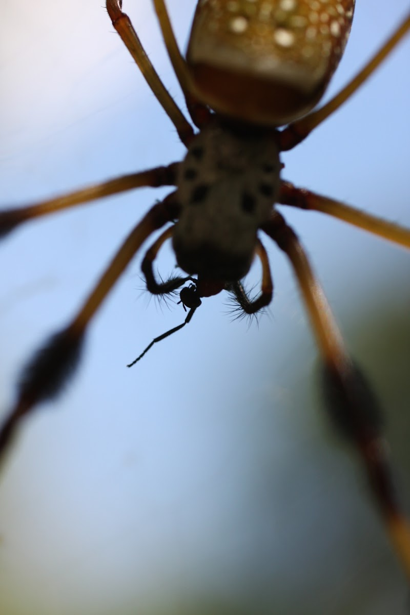 Nephila clavipes eating a fly