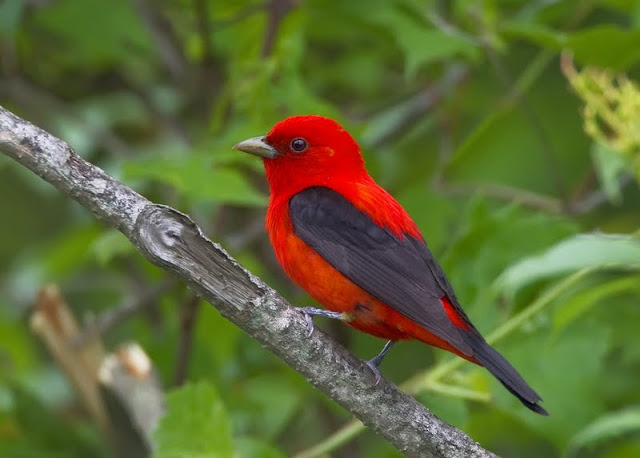 Scarlet Tanager (Karl Egressy)