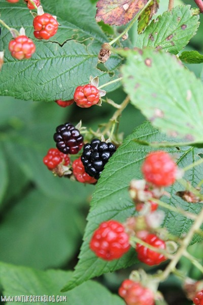 Wild blackberries on the vine