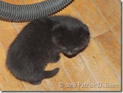 black kitten 02