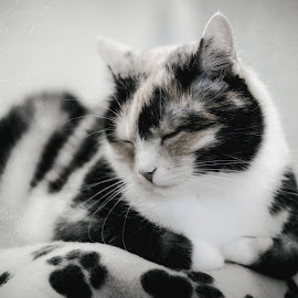 Sleepy cat by Michal Schwarz - Animals - Cats Portraits ( picture, old, kitten, cat, vintage, black and white, pet, sleeping, photo, kitty, photography, portrait, animal )