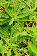 Silene Uniflora_1