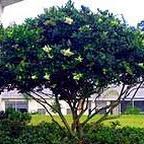 ligustrum tree.jpg