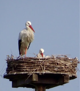 White Storks. Amsterdam. (c) Copyright Shelley Banks, all rights reserved