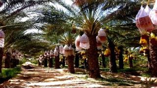 La filière phoénicicole à Khenchela, un acquis menacé par la maladie de boufaroua