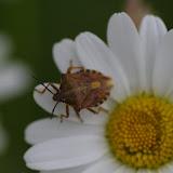 Hémiptère : Pentatomidae : Pentatoma rufipes (L., 1758). Les Hautes-Lisières (Rouvres, 28), 11 juin 2012. Photo : J.-M. Gayman