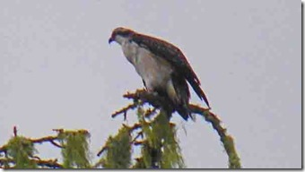 Osprey, Gold Beach Oregon