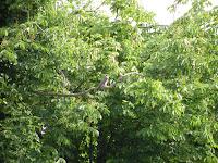 сокол на дереве