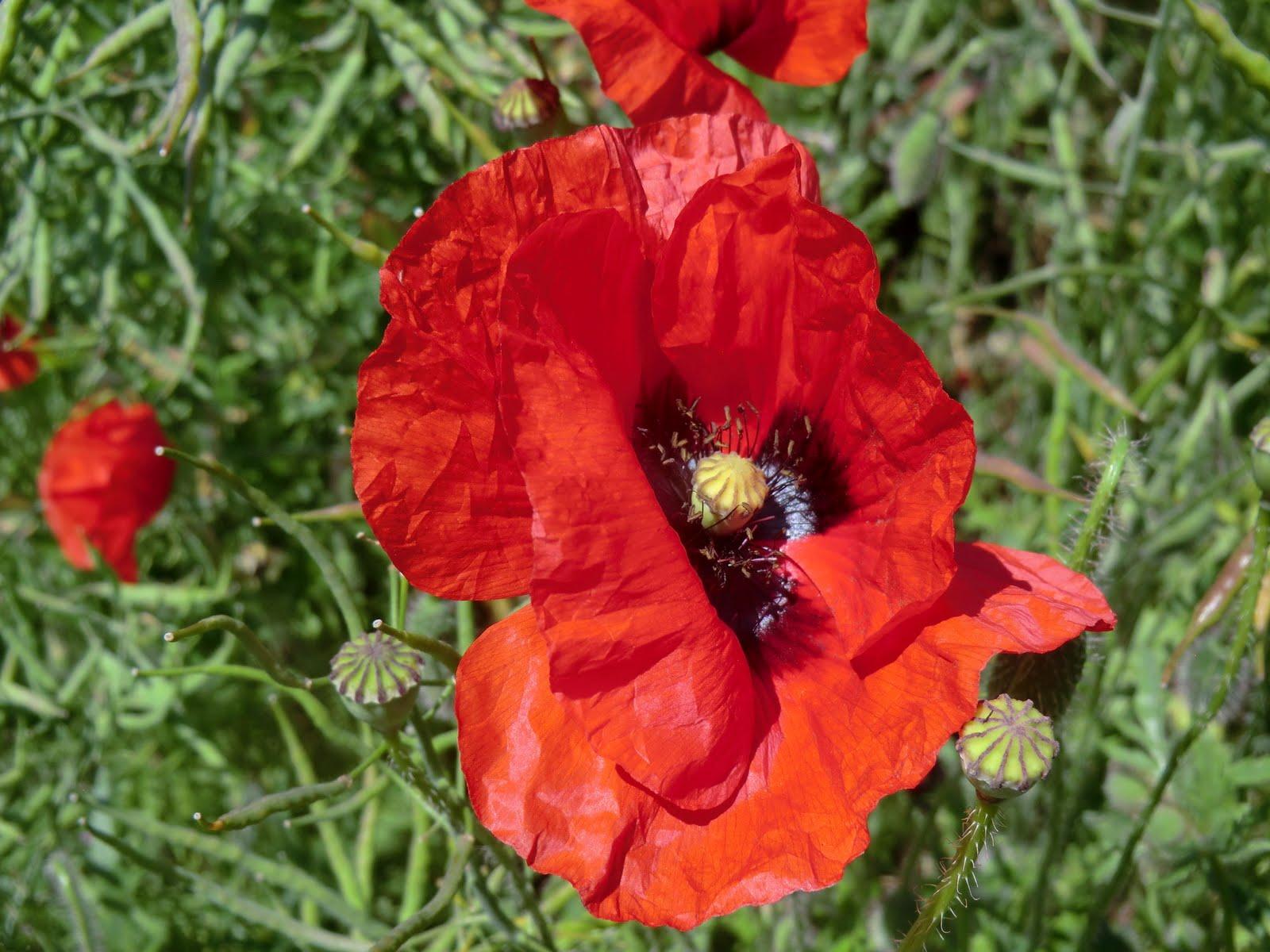 CIMG8496 Poppy, Hollingbourne