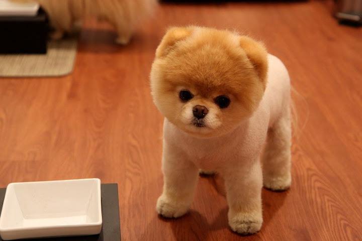 Mua chó Boo, chó bông gòn giá bao nhiêu tiền? Nơi bán chó Boo giá rẻ