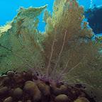Big gorgonian @ Klein Bonaire (Keepsake)