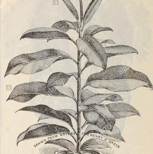 Ficus Henry