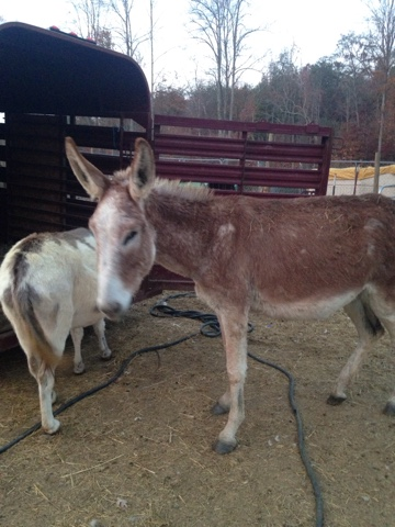 Rescue donkeys placed in good homes