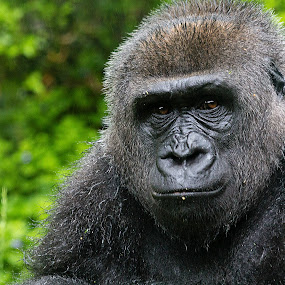 Gorilla by Lisa Mirante - Animals Other Mammals ( gorilla, portrait )