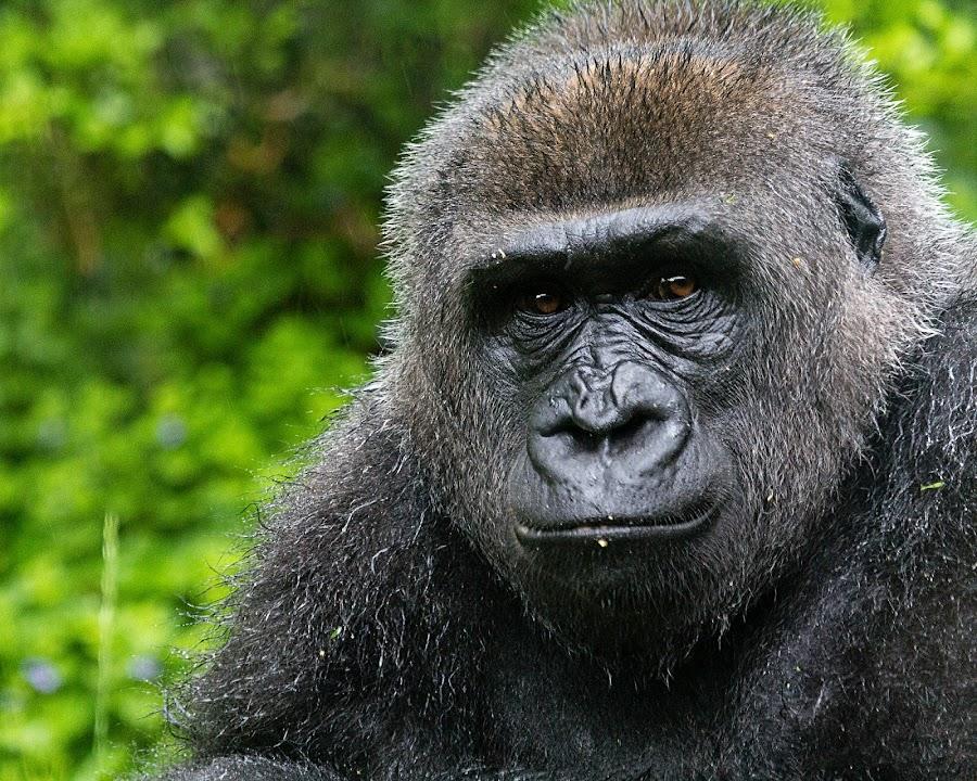 Gorilla by Lisa Mirante - Animals Other Mammals ( gorilla, portrait )