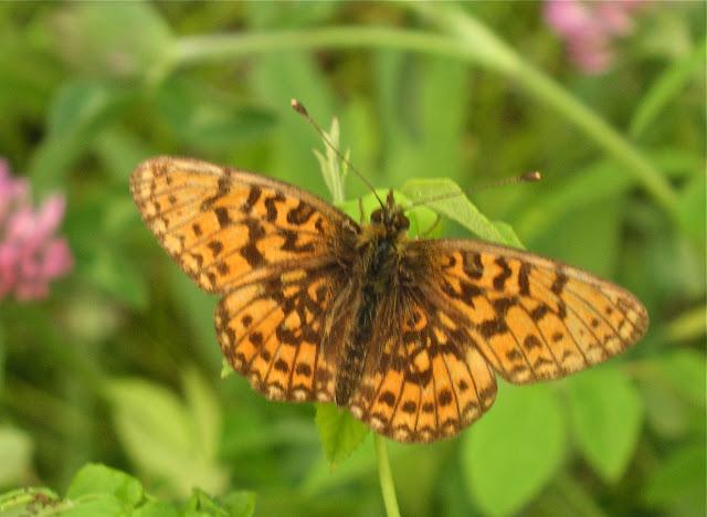 Boloria (Clossiana) selenis sibirica ERSCHOFF, 1870. Narichnyi (Primorskij Kraj, Oussouri), 22 juin 2011. Photo : Jean Michel