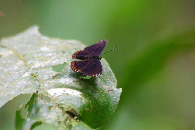 Metacharis victrix (HEWITSON, 1870), mâle. Tunda Loma à Calderon (Esmeraldas), 6 décembre 2013. Photo : J.-M. Gayman
