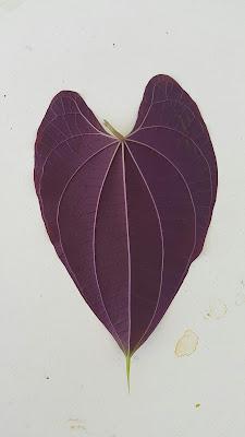 Família: Dioscoreaceae Nome científico: Dioscorea  discolor Nome popular: Cará-da-terra[Por]; Ornamental Yam, Diospyros virginiana[Ing].