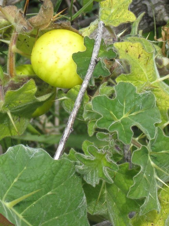 [Tropical-soda-apple-Solanum-viarum-2%5B2%5D]