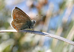 Sortbrun blåfugl, han.5.jpg