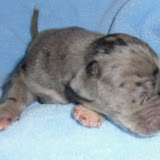 merle male @ 1 week/Dominic & Heidi