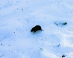Northern short-tailed shrew.