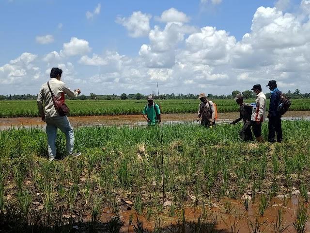 Widyaiswara Dampingi Poktan Kawasan Food Estate Berbasis Korporasi Kapuas Pulang Pisau