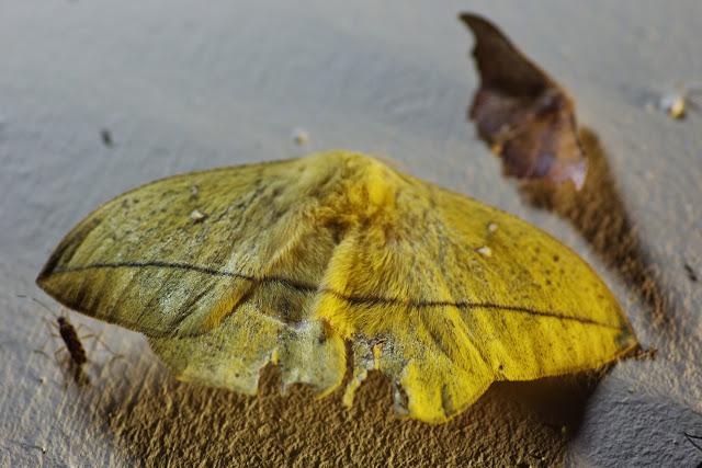 Hemileucinae : Lonomia condordia concordia Druce, 1886, mâle. Valle de las Minas, 1100 m (Chiriqui, Panamá), 27 octobre 2014. Photo : J.-M. Gayman