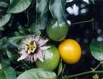 khasiat buah markisa