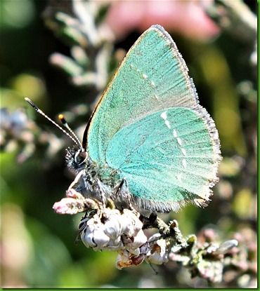 Green hairstreak May 2018