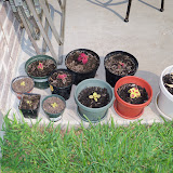 Gardening 2010, Part Two - 101_3114.JPG